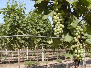 ПНВХ инициирует Программу развития украинского виноделия