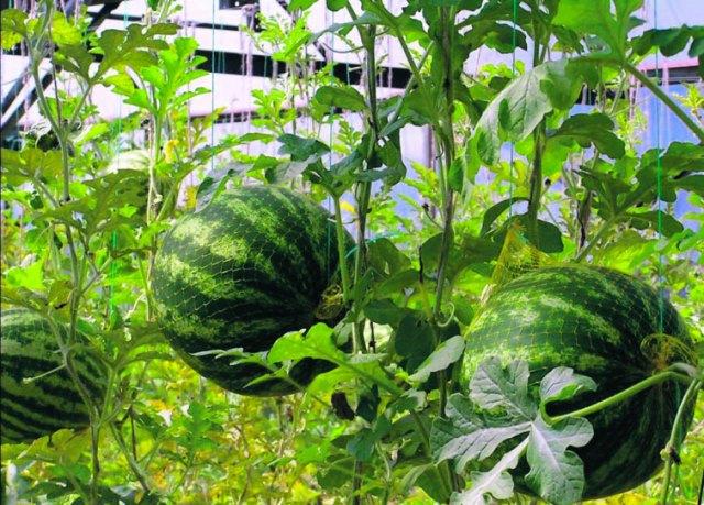 Как вырастить большие сладкие арбузы
