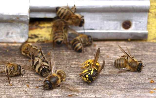 В Ровенской области от химикатов на полях массово гибнут пчелы