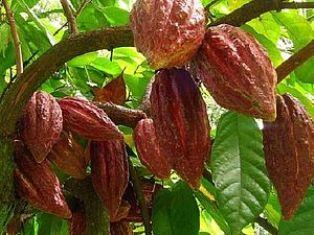 Масло какао - применение