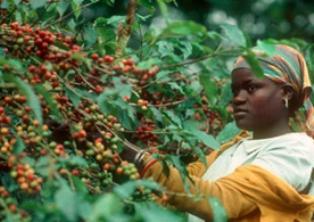 The Independent: в ближайшее время в мире может возникнуть дефицит кофе