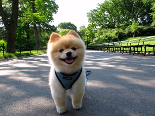 Как правильно выбрать щенка Померанского Шпица?